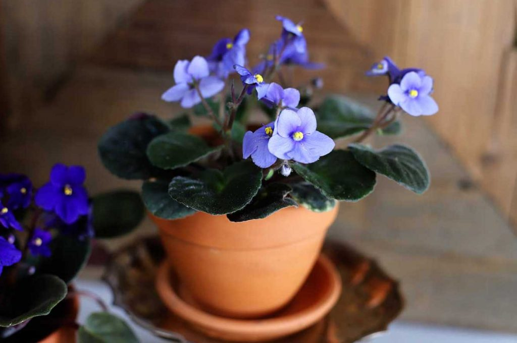 African Violet in clay pot