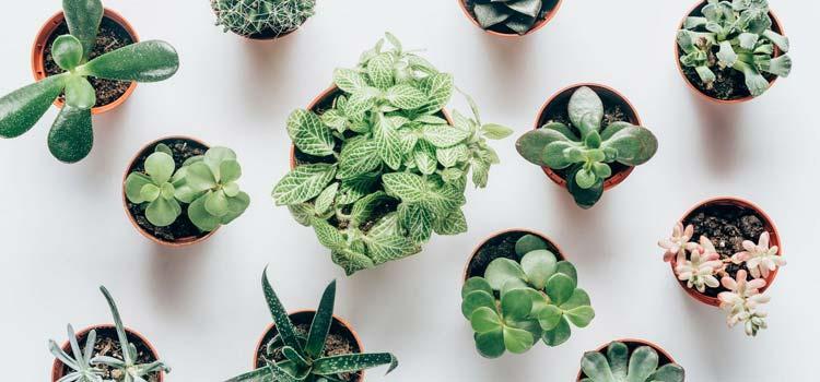 Succulent types