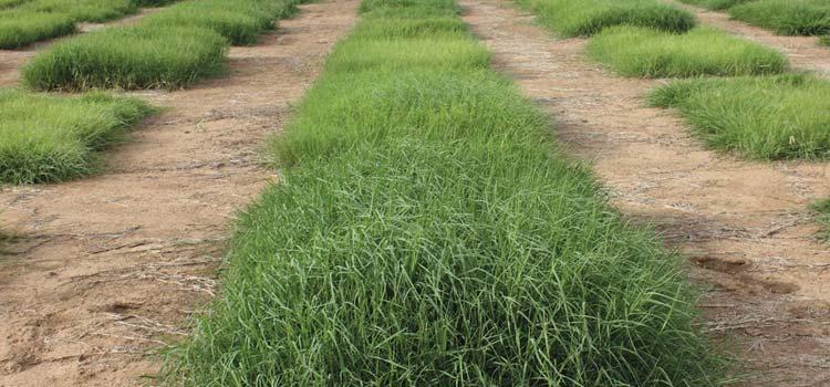 choosing bermuda grass