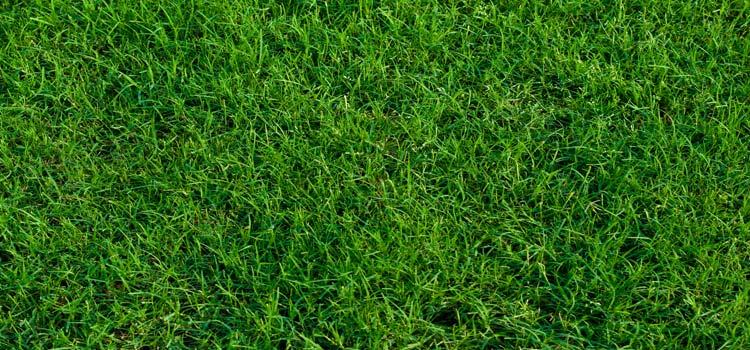 healthy Bermuda grass