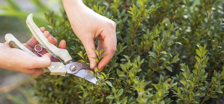 trimming plants with pruning shears