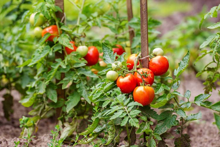 Best soil for tomatoes