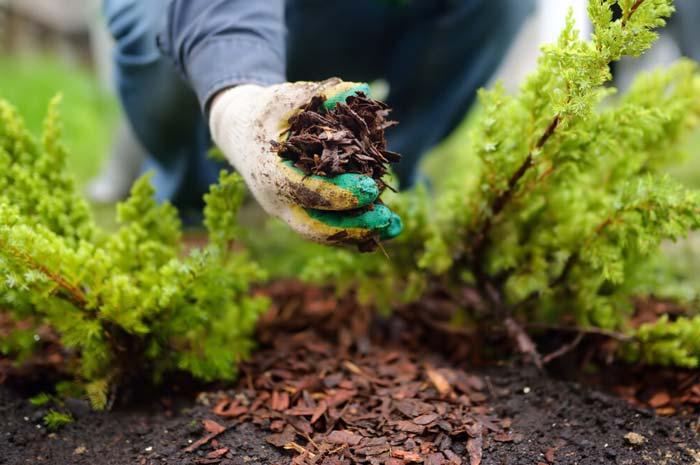 Gardener mulching Juniper plant with pine bark