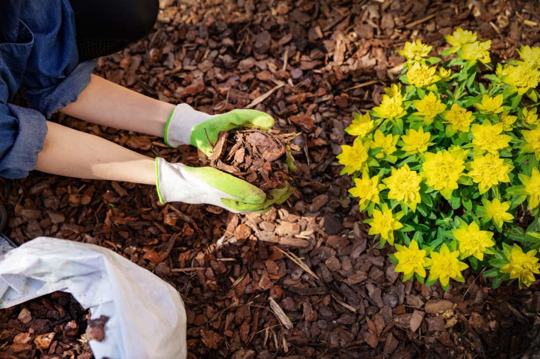 Gardener mulching plants with pine tree bark mulch
