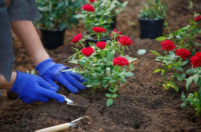 Planting red rose bush