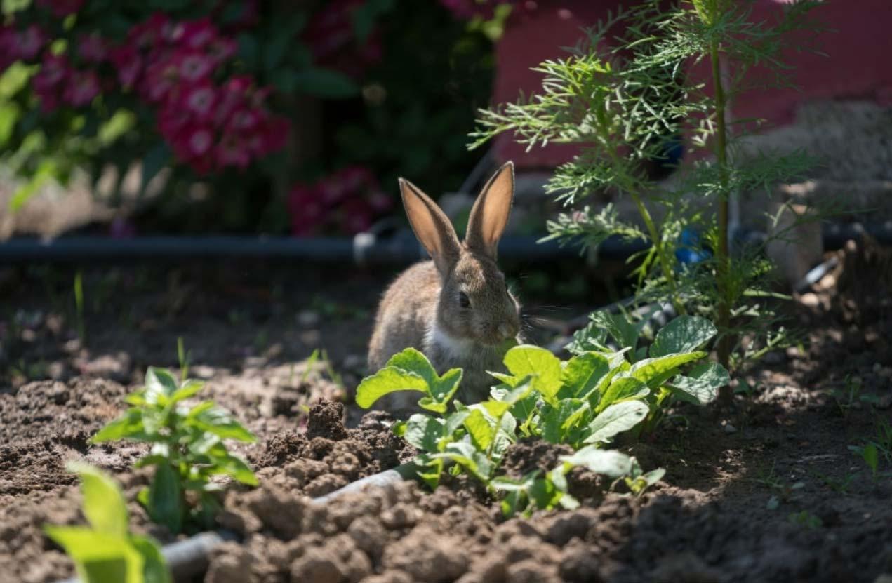 Rabbit in vegetable garden