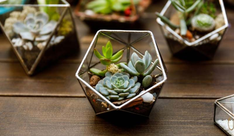 Succulents in glass terrariums