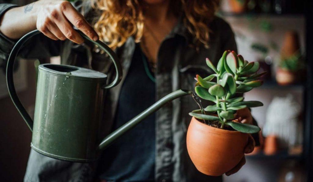 Watering succulent