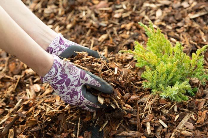 Woman gardener mulching potter thuja tree with pine tree bark mulch