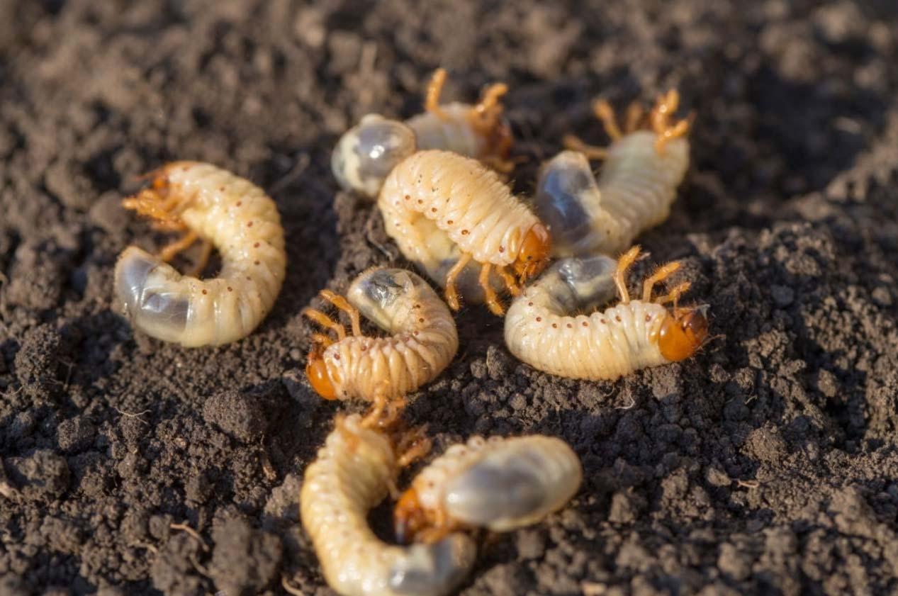 grubs in soil