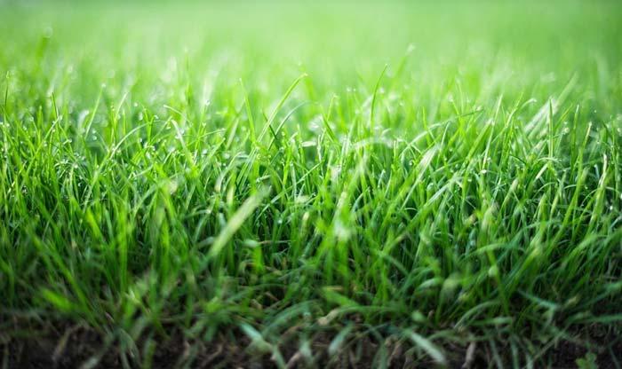 Lush green fresh new grass