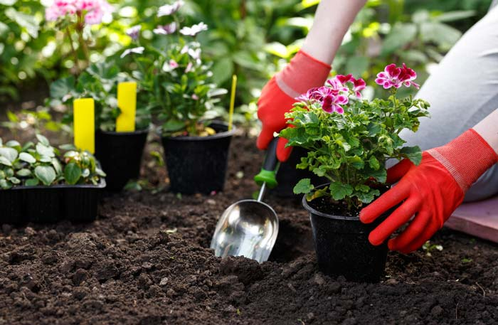 Gardener planting flowers in garden using trowel