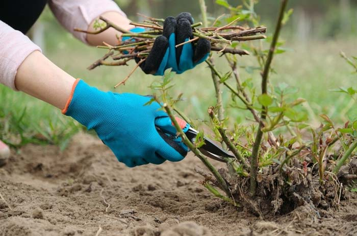 Gardener pruning brush protected hands with gloves