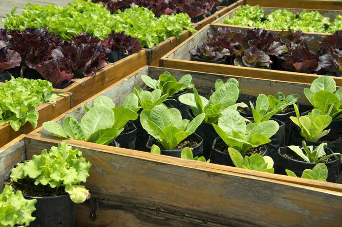 Lettuces in raised beds