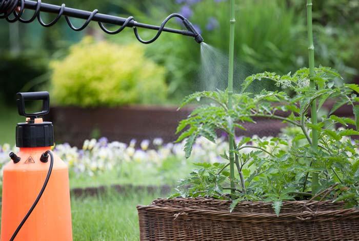 Spraying tomato plants with garden sprayer